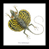 Lizards framed Draco haematopogon Bits & Bugs