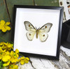 Ceranchia apollonia moth bits and bugs