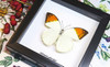 Framed butterflies Hebomoia glaucippe Bits and Bugs