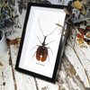 Violin beetle Mormolyce phyllodes real insect Bits and Bugs