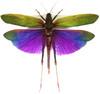 Titanacris albipes Female