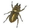 Allotopus rosenbergi female