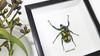 Jewel beetle Jumnos ruckeri Bits & Bugs
