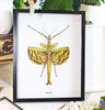 Stick insect in frame shadowbox Phasma gigas Bits and Bugs