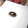 Chrysina aurigans red