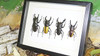 Lucanid beetles Bits and Bugs