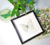 Framed butterfly collection Morpho luna Bits & Bugs