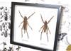 Spiny giant katydid Panoploscelis specularis Bits & Bugs