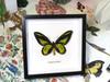 Ornithoptera rothschildi label