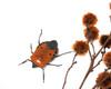 Catacanthus incarnatus RED ( Man Faced Stink Bug )