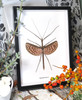stick insect for sale bugs butterflies Diesbachia tamyris Bits Bugs
