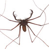 Spider Cave spider Tailless Whip Scorpion