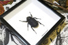 beetle insect taxidermy entomology bug