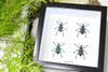 Taxidermy Beetle Eupholeus bennetti Bits & Bugs