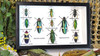 Jewel beetles insects Bits & Bugs