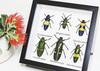 Jewel Beetle 6