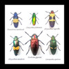 jewel beetles real insects bugs framed  Bits & Bugs