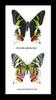 Sunset moth Chrysiridia riphaeria  Bits and Bugs
