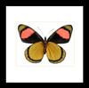 Batesia hypochlora verso Bits&Bugs