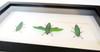 Jewel beetle Chrysochroa fulmins Bits & Bugs