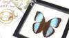 Butterfly framed Morpho patroclusBits&Bugs