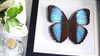 Morpho patroclus Butterfly framed Morpho patroclus Bits&Bugs