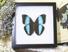Morpho patroclus butterfly insect taxidermy for sale australia bits and bugs