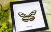 Butterfly collection Philaethria dido Bits & Bugs