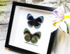 home decor interior design taxidermy butterfly Callithea leprieuri Bits & Bugs