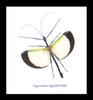 Phasmid stick insect Tagesoidea nigrofasciata Male Bits & Bugs