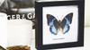 Butterfly frame Charaxes smaragdalis Bits & Bugs