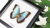 Butterflies Morpho helenor framed butterfly
