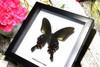 Papilio polyctor stockleyi