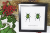 Bugs Beetles real insects for sale Chrysophora chrysochlora