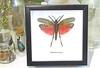 Phymateus saxosus Framed grasshopper Bits & Bugs
