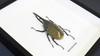 Beetle Dynastes hercules lichyi