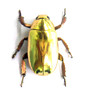gold beetle bugs for sale  Chrysina resplendens Bits and Bugs