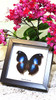 Butterfly framed Napeocles jucunda Bits&Bugs