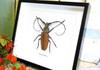 Longhorn beetle bugs Callipogon armillatus Bits & Bugs