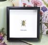 Chrysina optima metallic jewel beetle Bits and Bugs