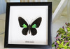 Real butterfly framed Parides species Bits & Bugs