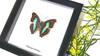 Doxocopa cherubina