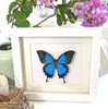 Papilio ulysses Australian butterfly framed Papilio ulysses Bits&Bugs