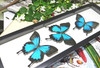 Australian butterfly Papilio ulysses Bits & Bugs
