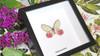 butterfly glasswing Cithaerias aurorina Bits & Bugs