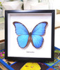 home decor design taxidermy butterfly for sale Morpho amathonte Bits & Bugs