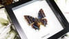 Butterfly frame Charaxes etesipe Bits&Bugs