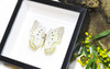 Framed butterfly collection Bits and Bugs Polyura delphis concha