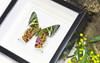 Framed butterflies and moths Chrysiridia ripheus  Bits & Bugs