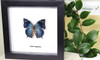 Real butterfly frame Anaea arginussa Bits & Bugs